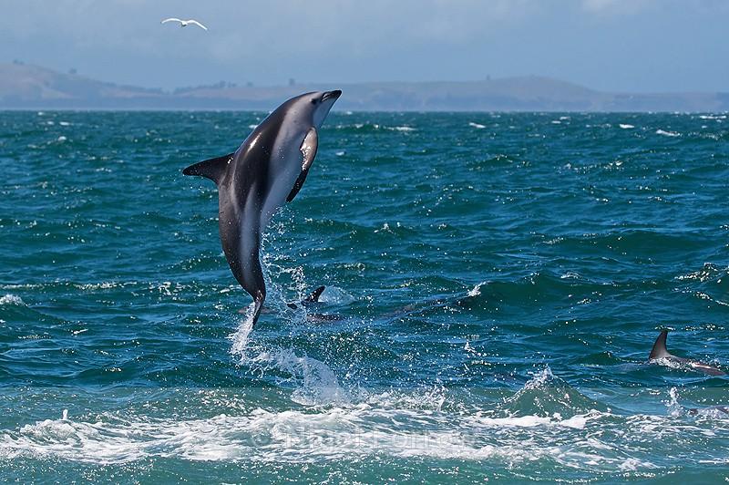 Dusky Dolphin leaps clear of the water near Kaikoura - Dolphin