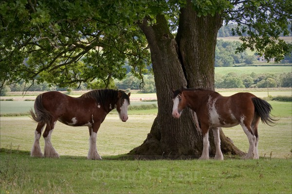 2 Clydesdales - Rural Life