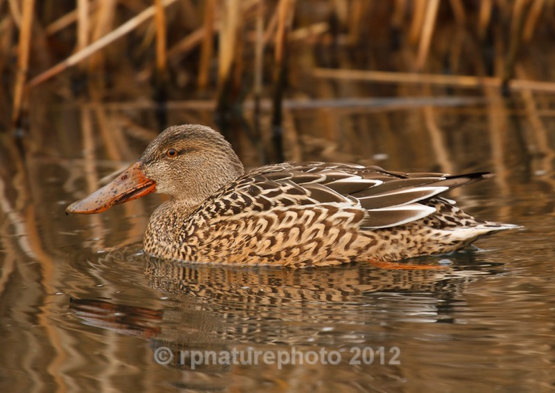 Shoveler (Female) - RPNP0140 - Birds
