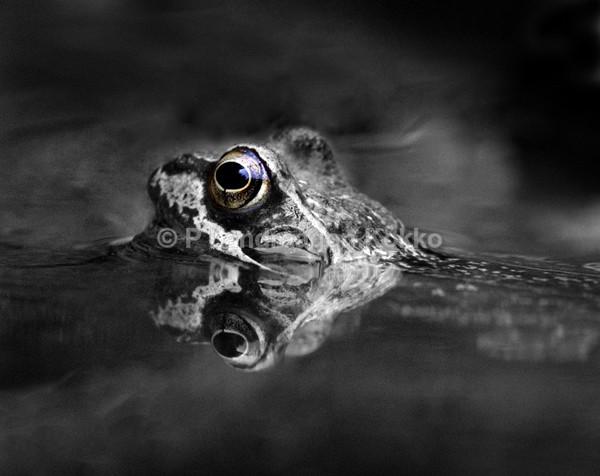 Frog - Black & White
