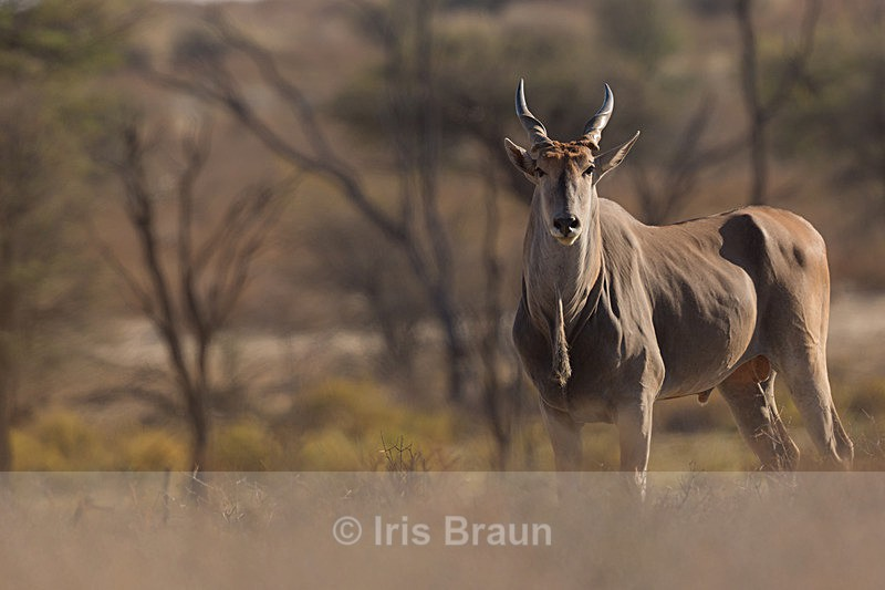 Mighty Eland Bull - Antelope
