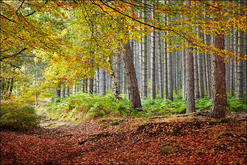 Autumn Pine Trees - Photographs of Woodland & Rivers