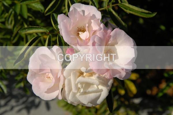 The 'Blushing' White Rose   DSC-0204 - The Flower Shop