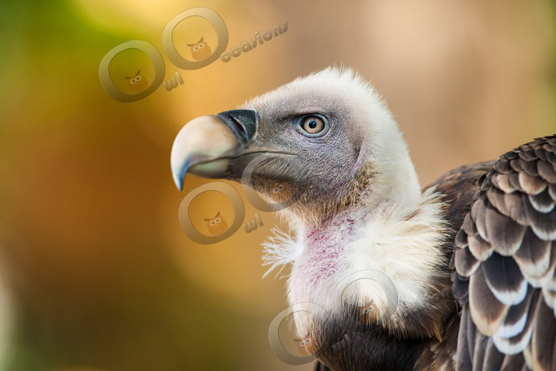 griffon vulture Gyps fulvus-1122 - BoP from around the world