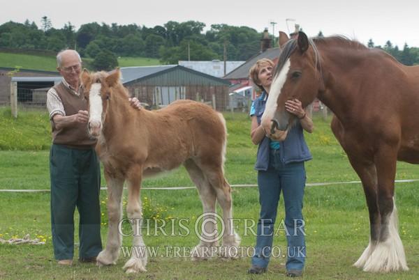 ryecroft-9 - Clydesdales 2013 Include Foals
