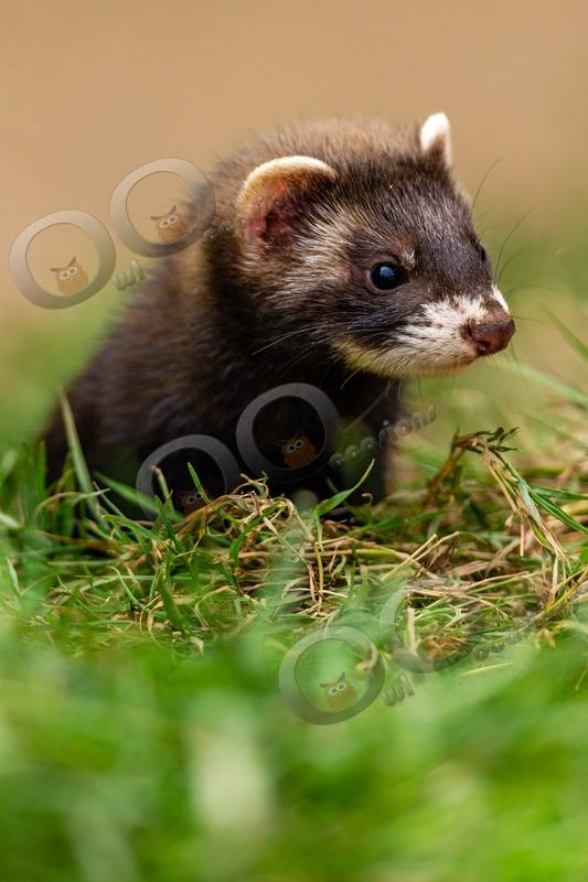 polecat Mustela putorius-8166 - UK Wildlife
