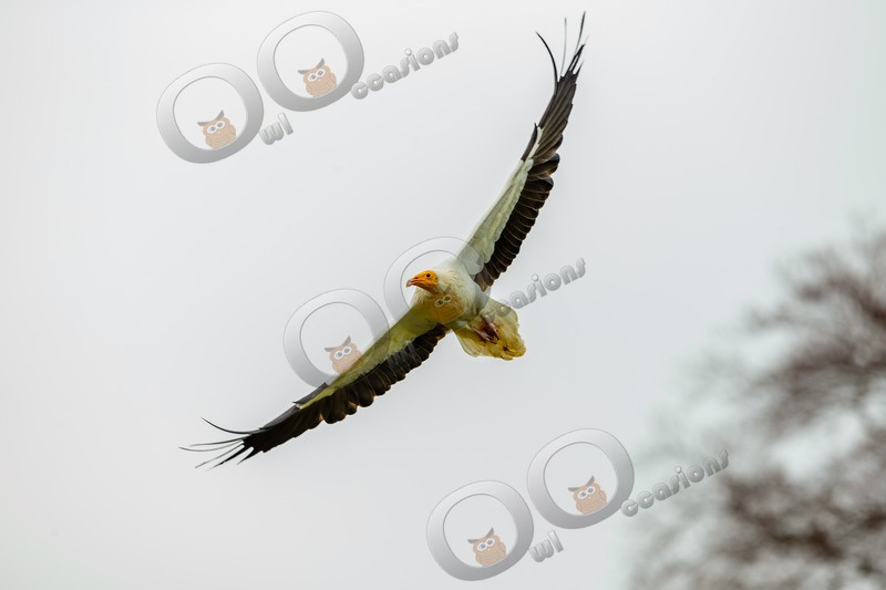 egyptian vulture Neophron percnopterus-8943 - BoP from around the world