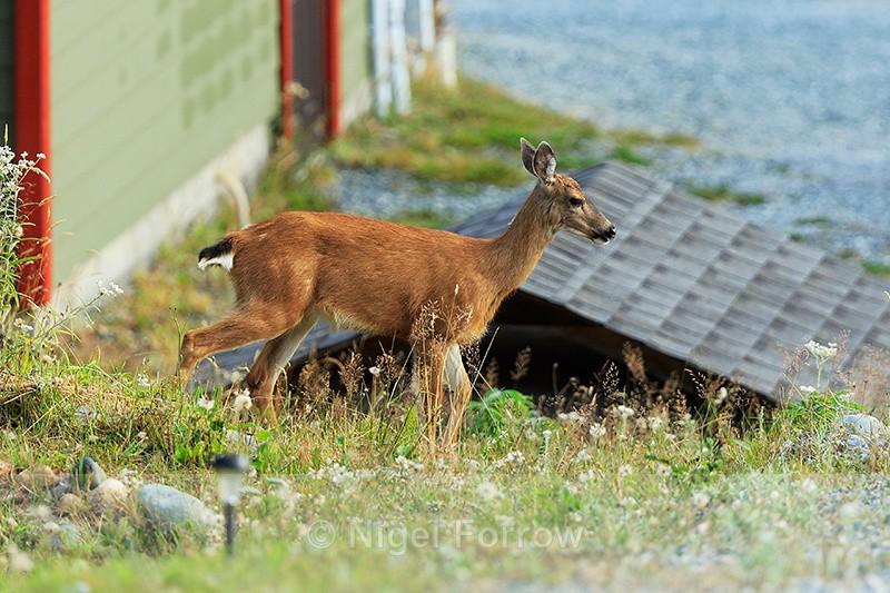 Black-tailed Deer, Hyde Creek, Vancouver Island, Canada - Deer