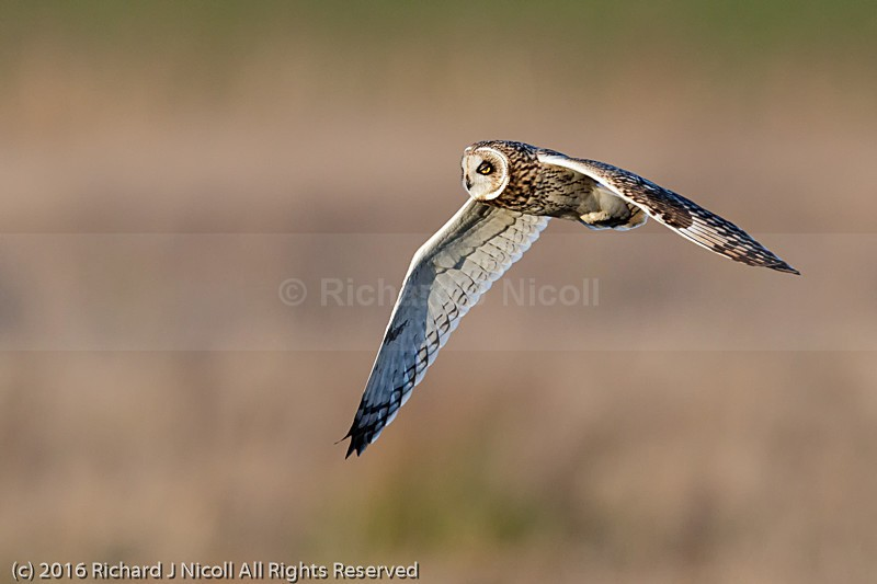 Short-eared Owl (Asio flammeus) blinking - Short-eared Owl (Asio flammeus)