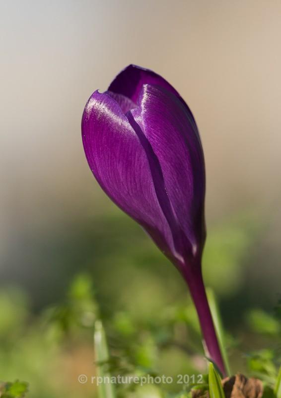 Spring Crocus - RPNP0021 - Flowers