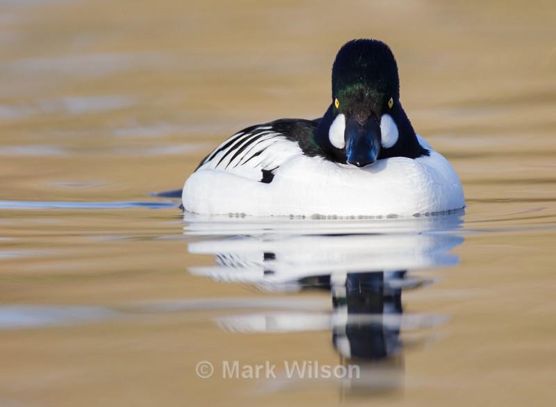 Goldeneye - Swans, Geese & Ducks