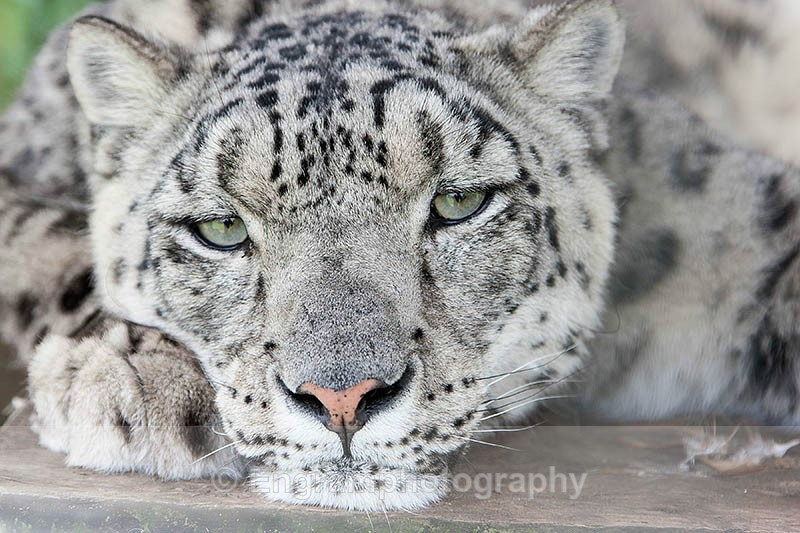 Thoughtfull Snow Leopard-3889 - RSCH Gallery displayed images