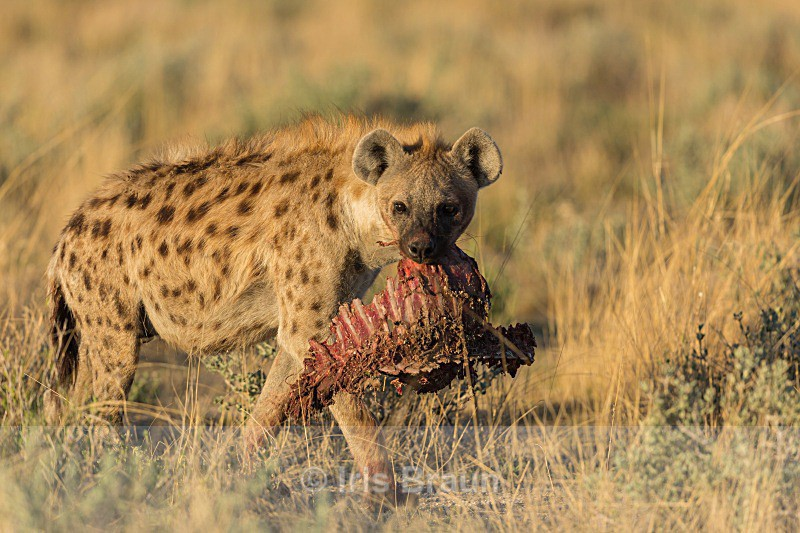 Take Away - Hyena