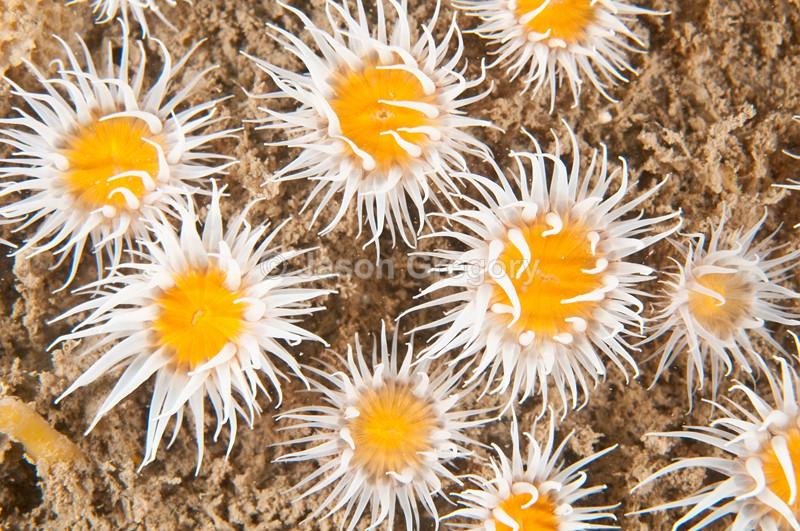 Actinothoe sphyrodeta - Anemones (Anthozoa)