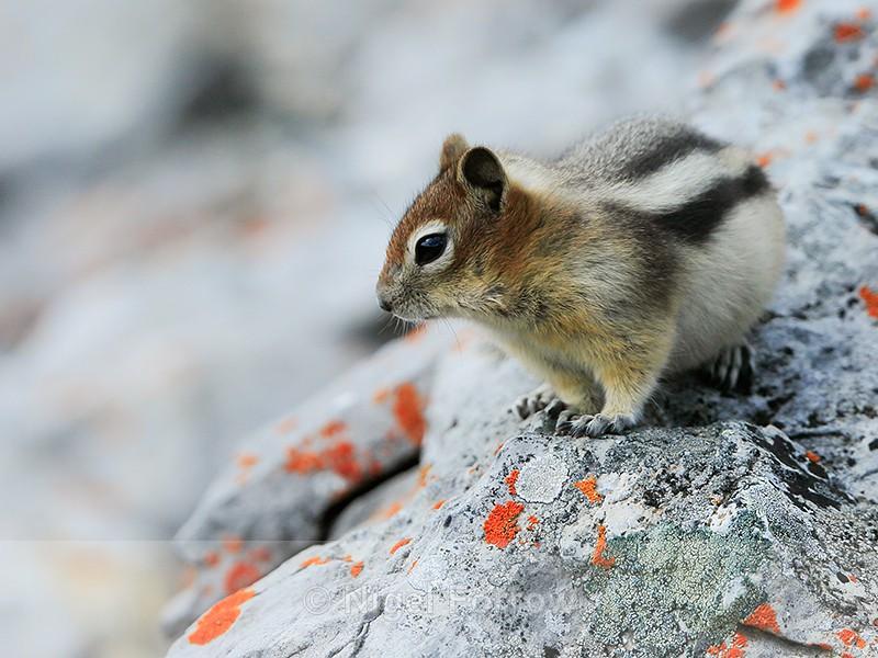 Golden-mantled Ground Squirrel, Sulphur Mountain, Banff, Canada - Squirrel