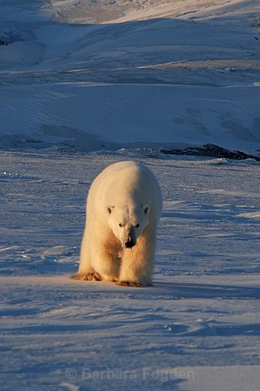 Polarbear 0096 - Wildlife