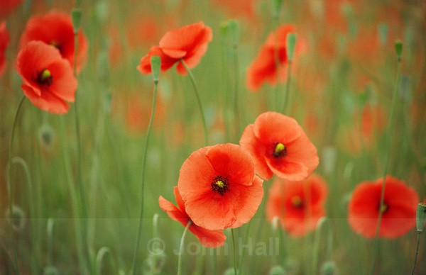 wild poppies in a field.