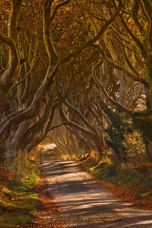 Autumn at the Dark Hedges