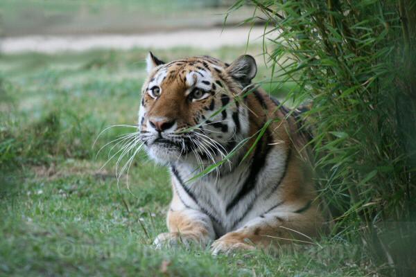 269 RONJA - BIG CATS