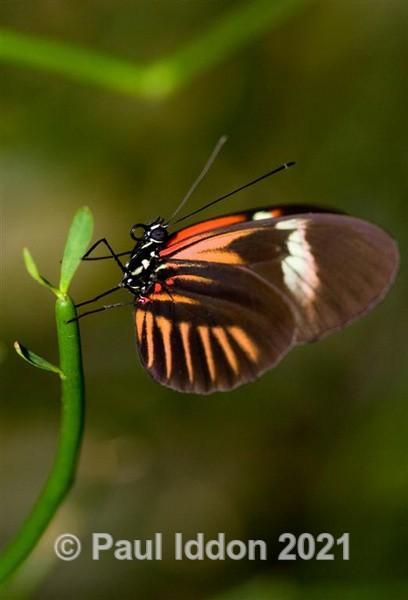 Butterfly - Macro