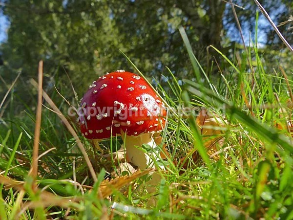 Fly Agaric (© Bill & Pat Cooper) - Bradgate Park - Customer Images