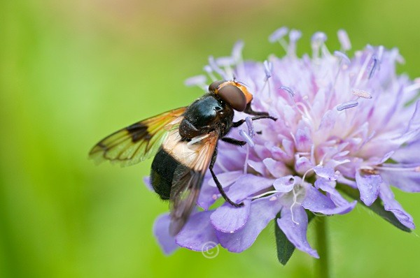 Scabious - FLOWERS