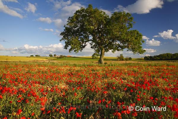 Poppy Field - County Durham
