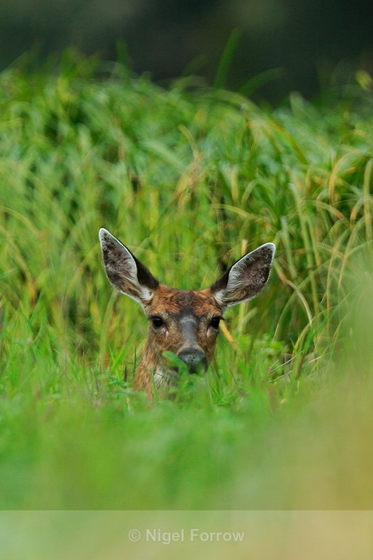 Young Black-tailed Deer resting in grass, Knight Inlet, Canada - Deer