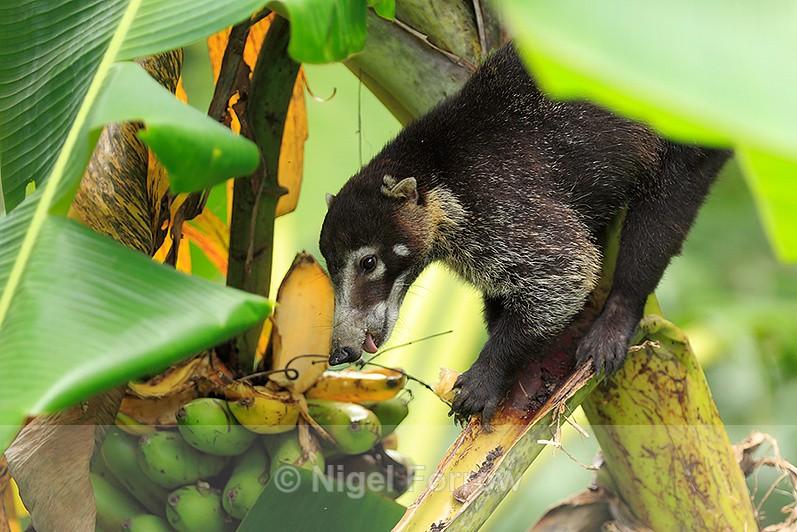 White-nosed Coati eating a banana at Bosque del Cabo - Coati
