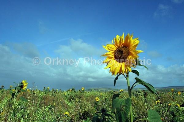 Sun Flower - Orkney Images