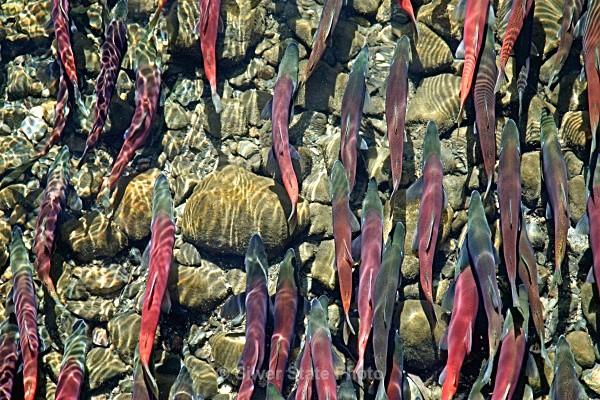 Kokanee Salmon at Taylor Creek - 'Wildlife' (Big & Small)