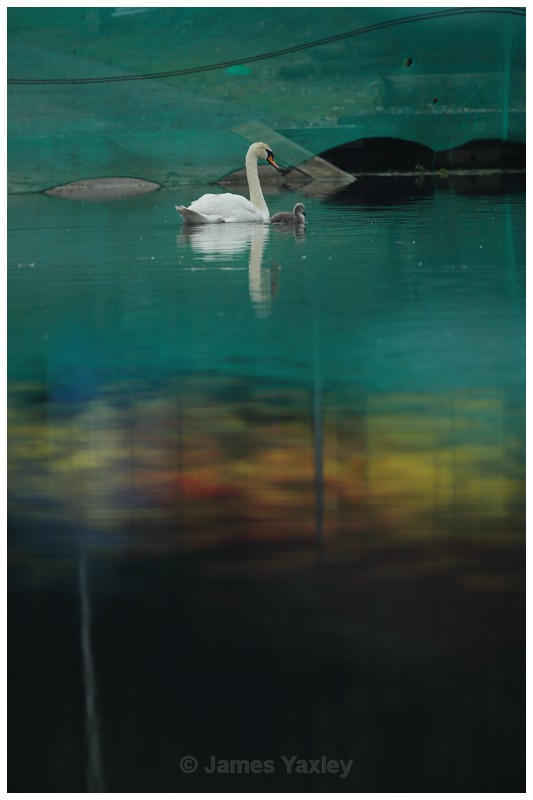 Water Colour Swans - Latest Work