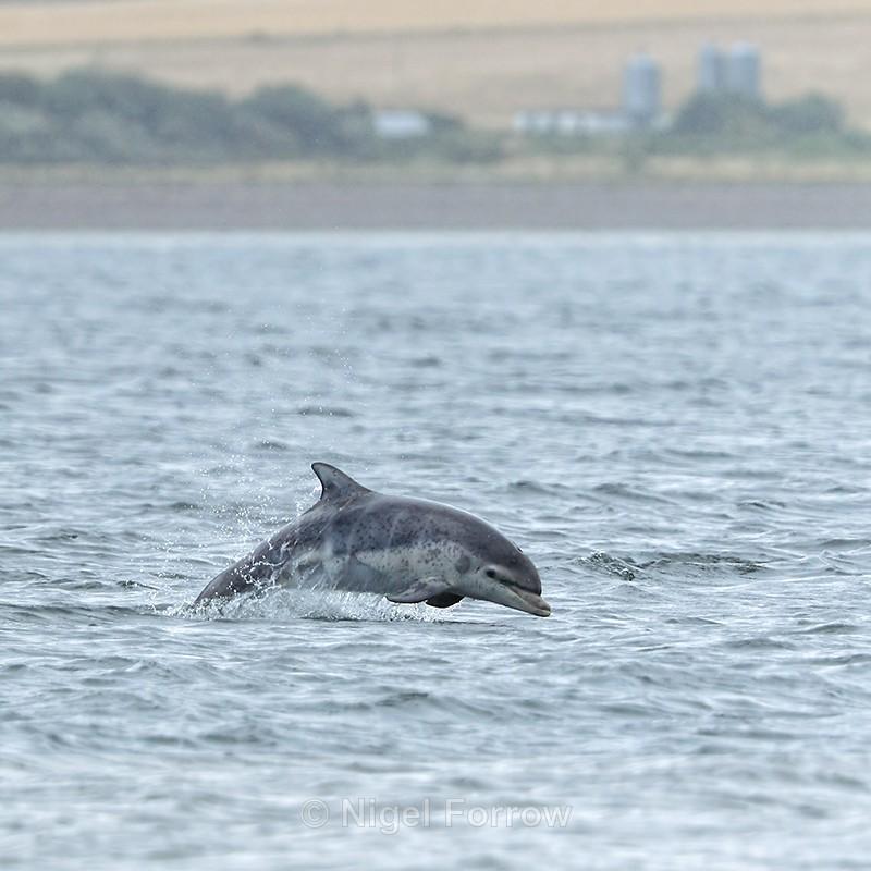 Bottlenose Dolphin breaching, Chanonry Point, Scotland - Dolphin