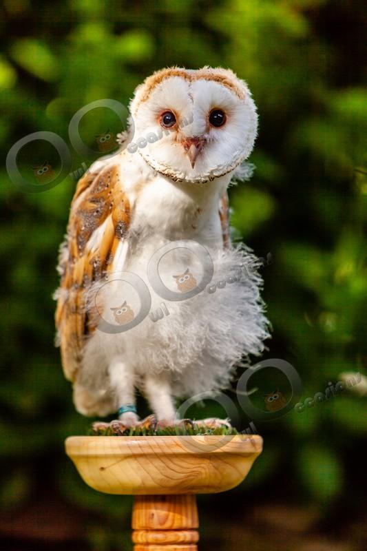 barn owl tyto alba-0122 - Owls of the World