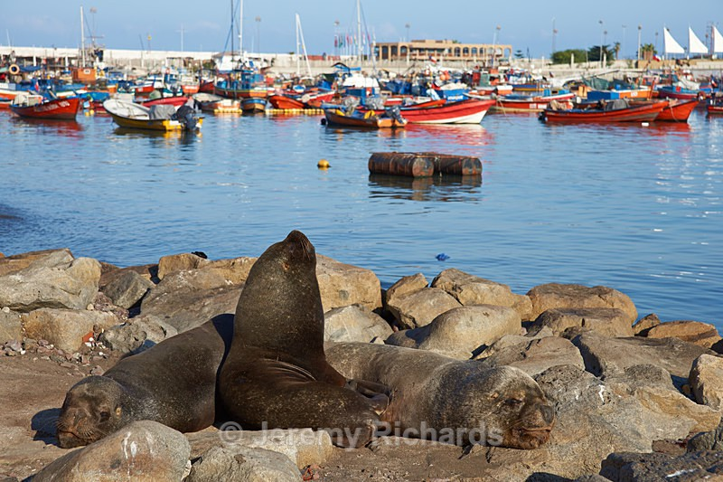 Sea Lions in Iquique Harbour - Coastal Chile