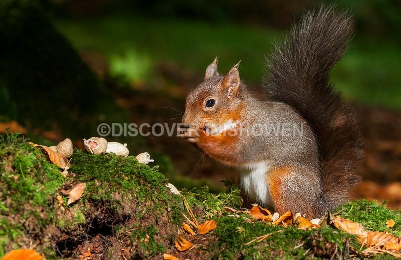 Red squirrel - Wildlife