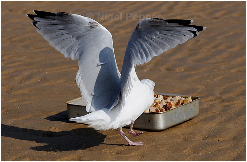 Feeding Time ( 2 ) - Leggy the Herring Gull