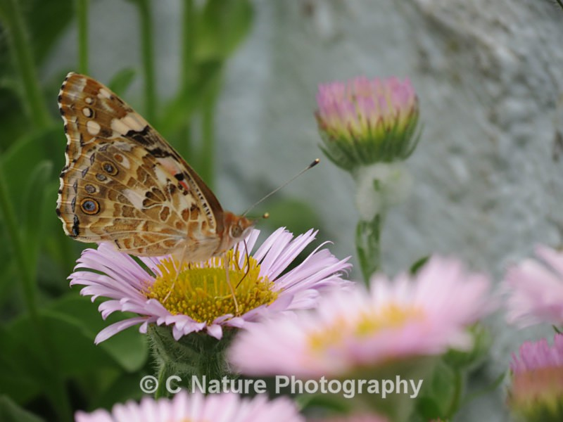 Painted Lady - Insects & Creepy Crawlies