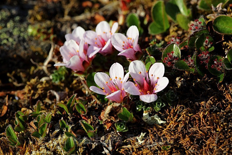 Purple Saxifrage 7387 - Colours of Svalbard