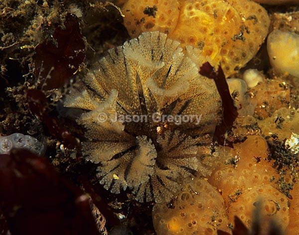 Bugula flabellata 1 - Sea Mats (Bryozoa)