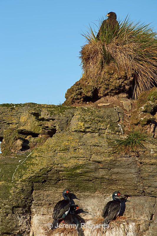 Rock Shags Nesting - Bleaker Island