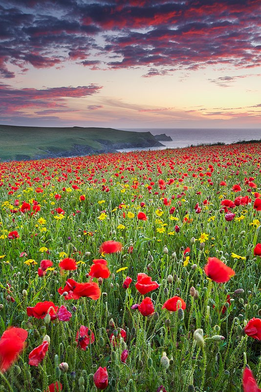 Red Flowers at Night - Cornwall - North Coast 2