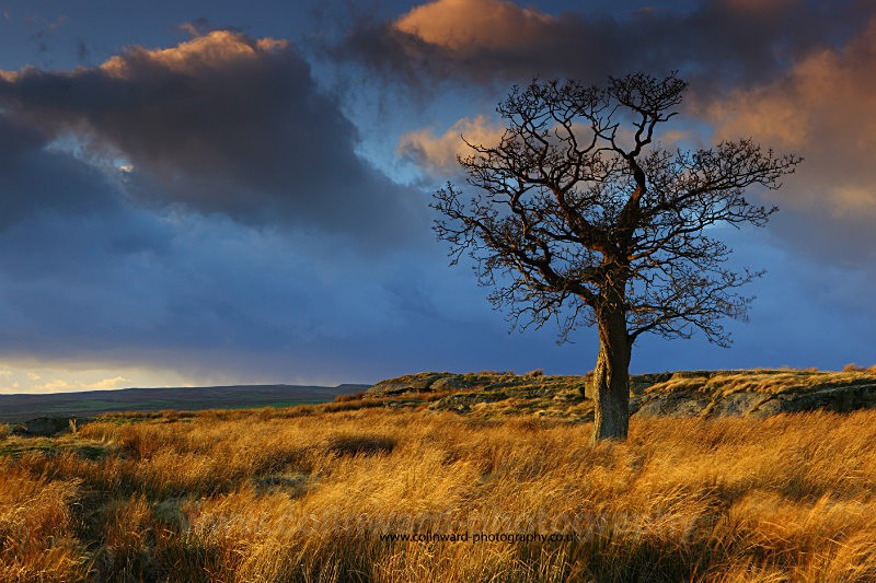 Lone Tree near Bowes Moor.    ref 4497 - The Pennines and The Lake District