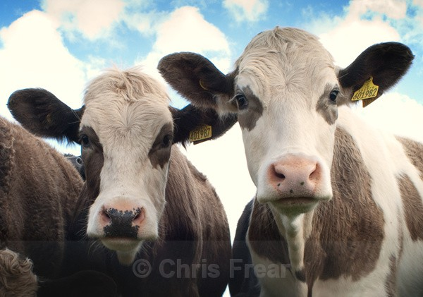 Two Heads Are Better Than One - Rural Life