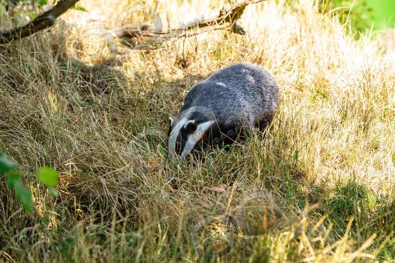 badger Meles meles-1117 - UK Wildlife