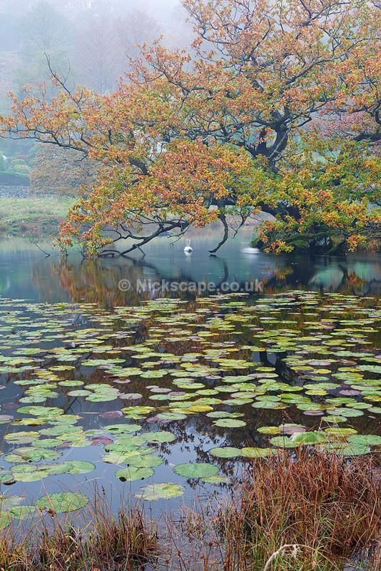 Lily Pads at Rydal Water - Lake District, UK - Lake District National Park