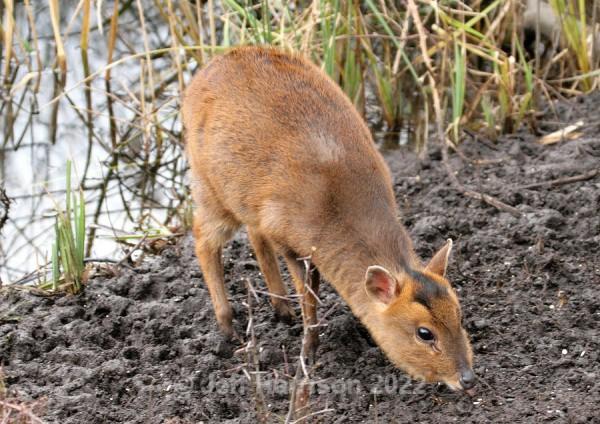 Muntjac Deer (image MD 03) - Mammals