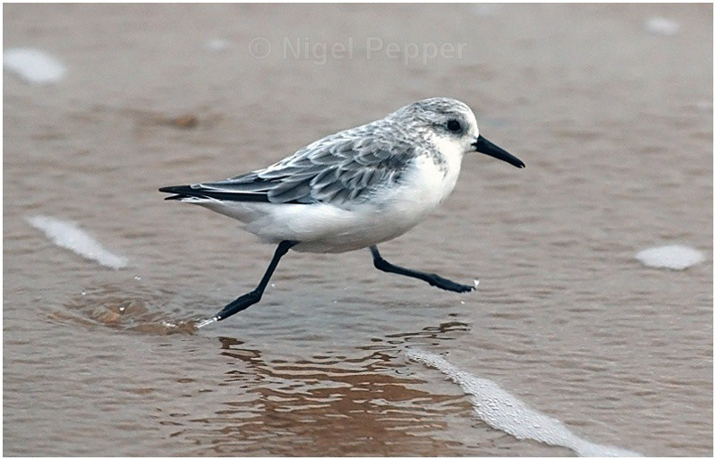 Sanderling - Sanderlings and Turnstones