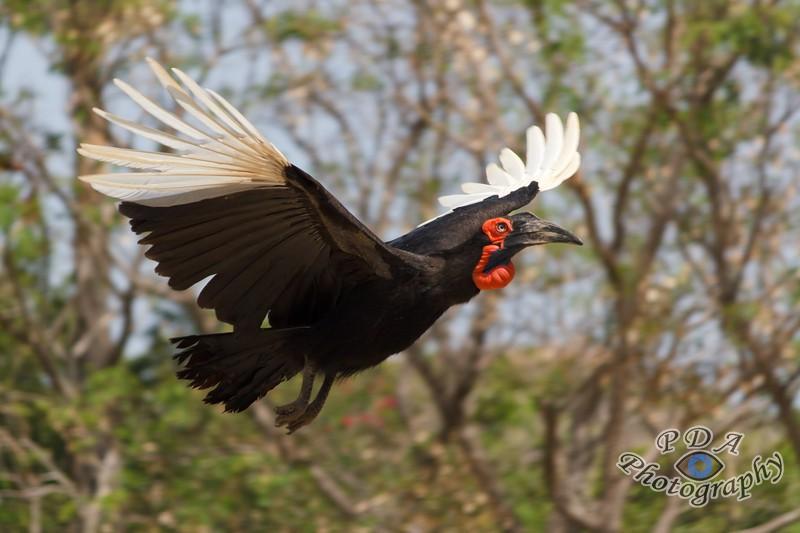 5 Southern Ground Hornbill