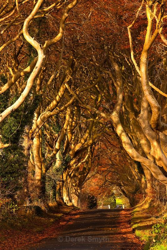 Dark Hedges in Bright Autumn Sunlight